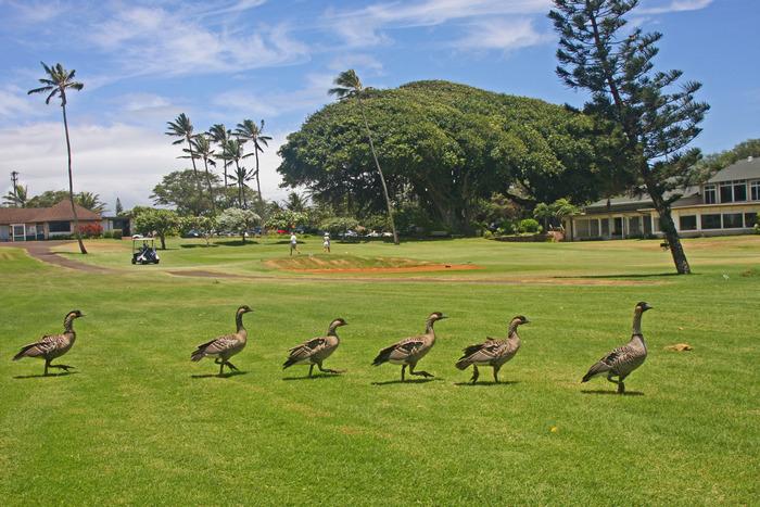 Nene Visit to Maui Country Club pc Lauren Hogan